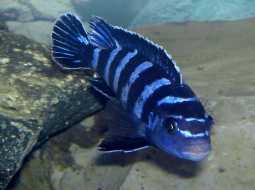 Pez Pombo Enano - Pseudotropheus Demasoni