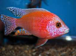 Fire Fish Dragon Blood - Aulonocara Firefish