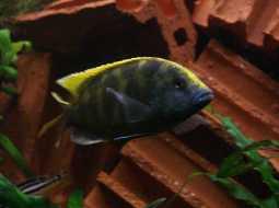 Pez ciclido comando - Nimbochromis venustus