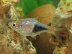 Pez Arlequin - Trigonostigma Heteromorpha